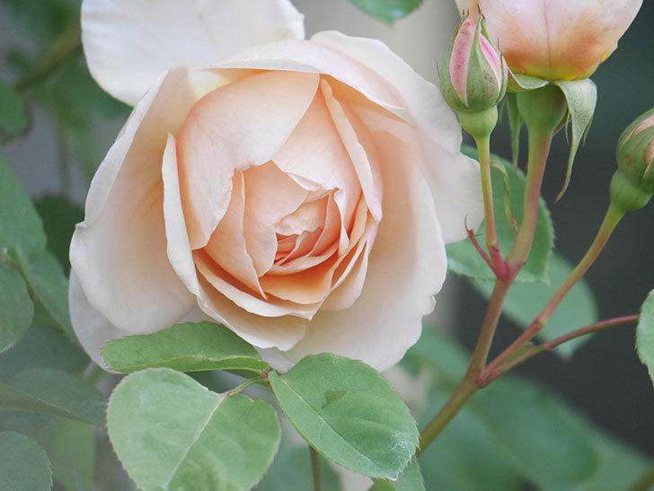 アンナ・フェンディ(Anna Fendi)の花が咲いた。半ツルバラ。2021年-008.jpg