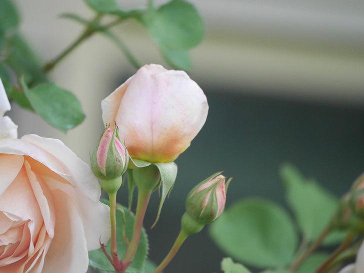 アンナ・フェンディ(Anna Fendi)の花が咲いた。半ツルバラ。2021年-009.jpg