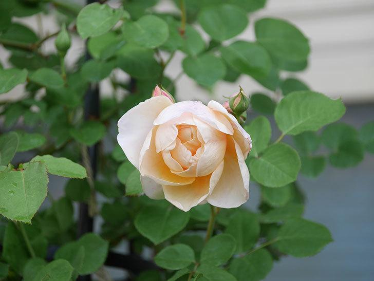 アンナ・フェンディ(Anna Fendi)の花が咲いた。半ツルバラ。2021年-010.jpg