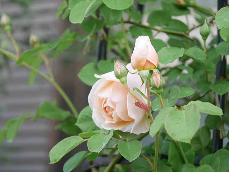 アンナ・フェンディ(Anna Fendi)の花が咲いた。半ツルバラ。2021年-011.jpg