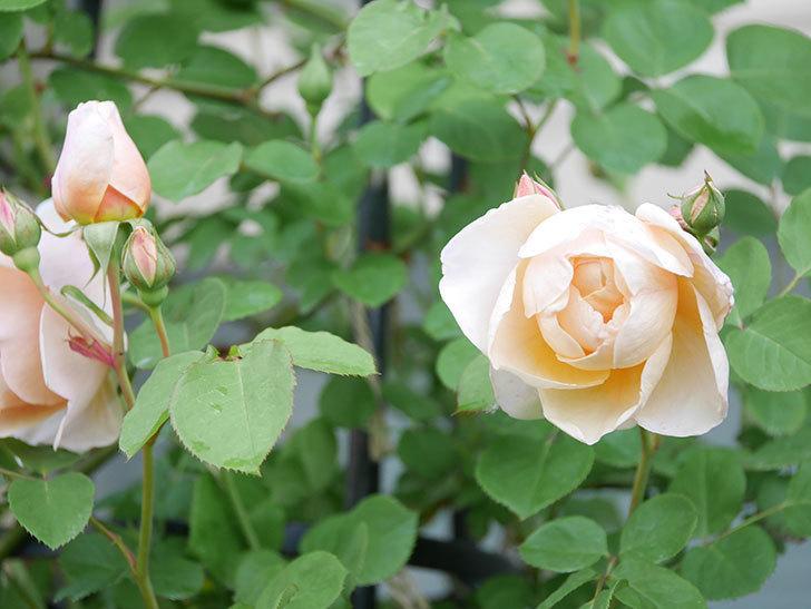 アンナ・フェンディ(Anna Fendi)の花が咲いた。半ツルバラ。2021年-012.jpg