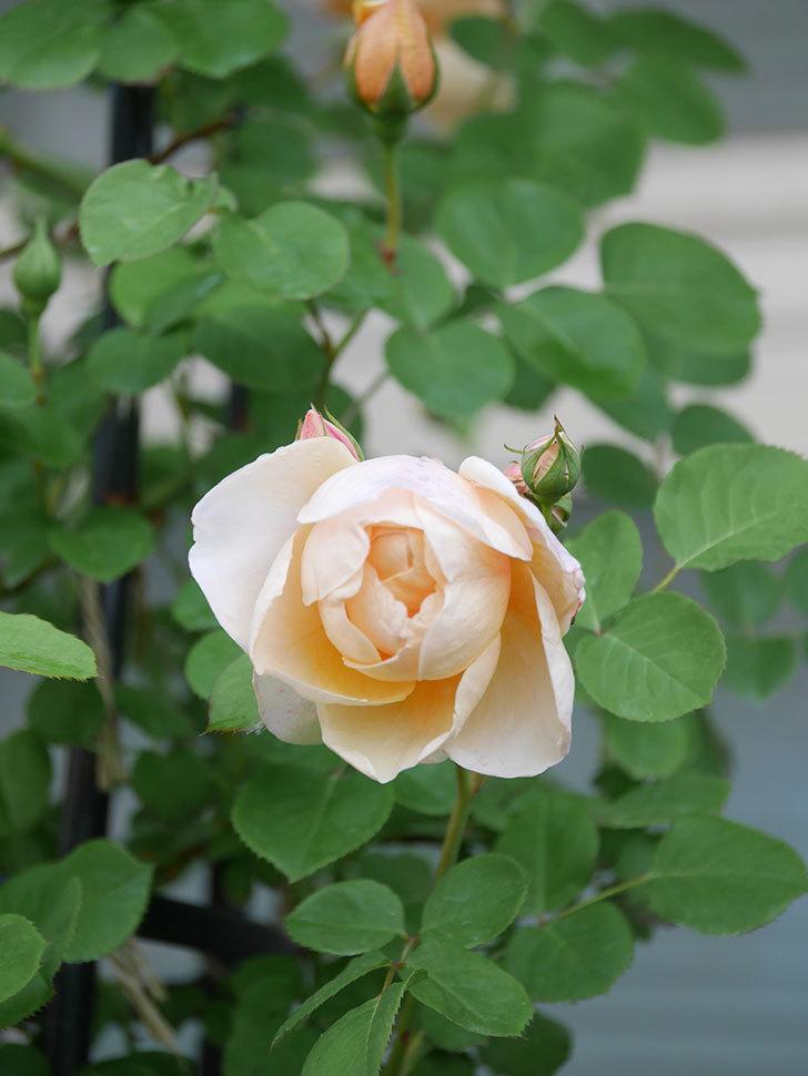 アンナ・フェンディ(Anna Fendi)の花が咲いた。半ツルバラ。2021年-013.jpg