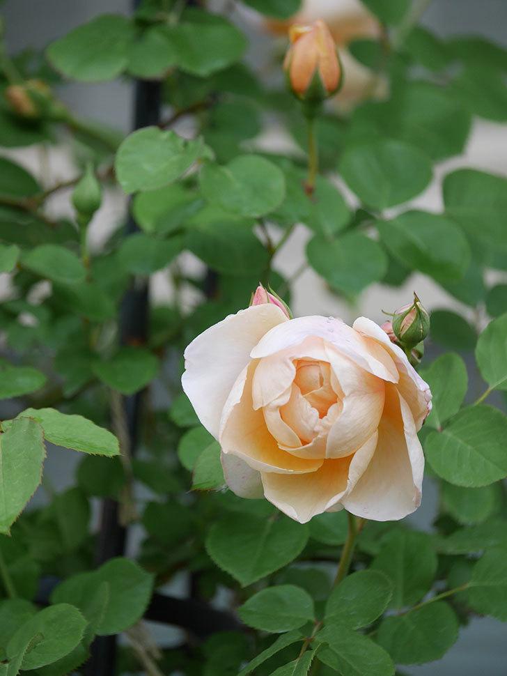 アンナ・フェンディ(Anna Fendi)の花が咲いた。半ツルバラ。2021年-014.jpg