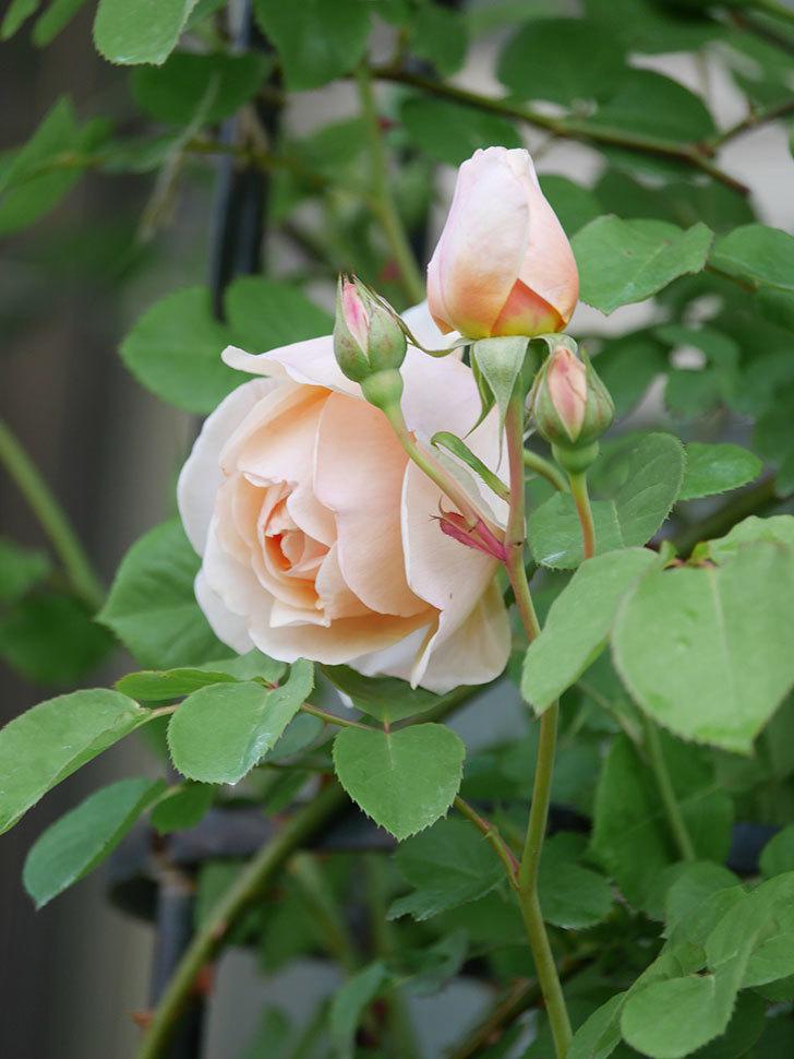 アンナ・フェンディ(Anna Fendi)の花が咲いた。半ツルバラ。2021年-015.jpg