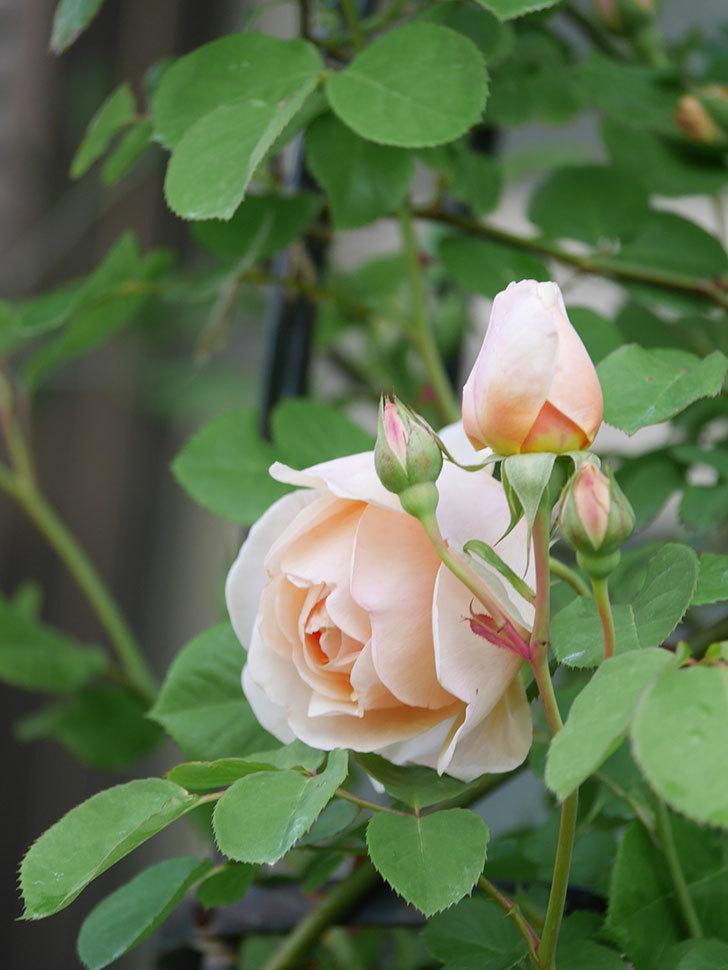 アンナ・フェンディ(Anna Fendi)の花が咲いた。半ツルバラ。2021年-016.jpg