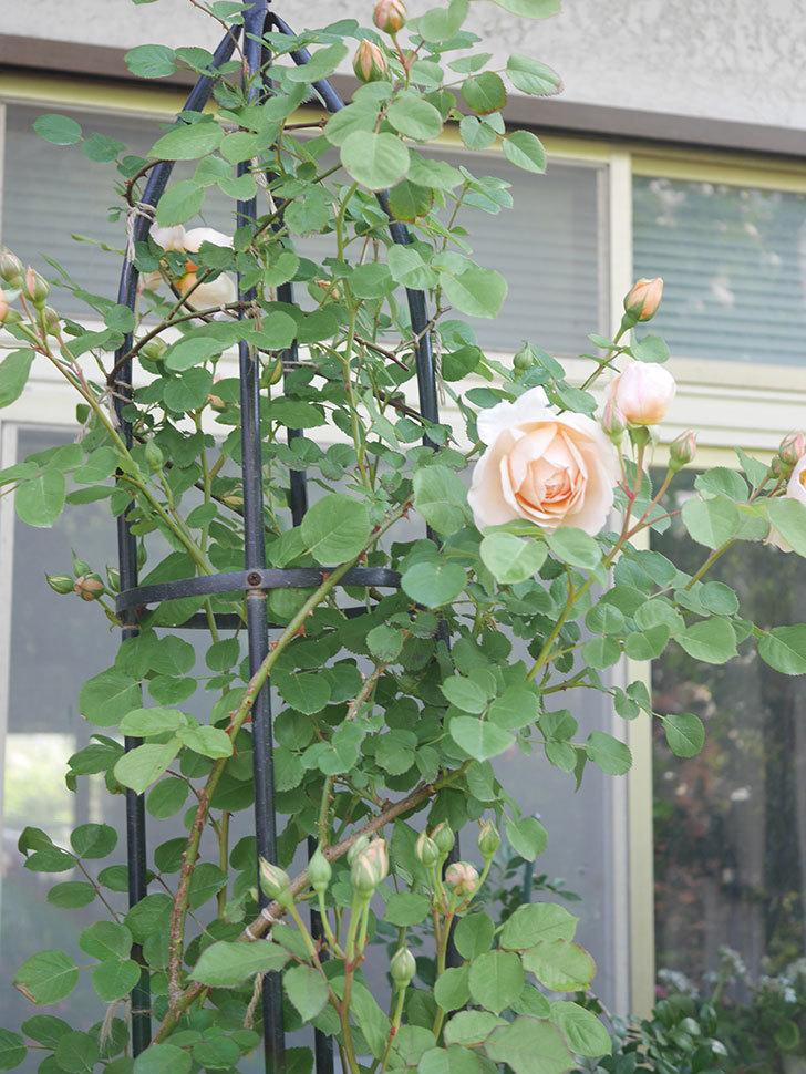 アンナ・フェンディ(Anna Fendi)の花が咲いた。半ツルバラ。2021年-017.jpg