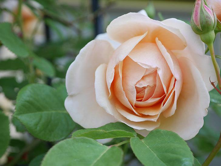 アンナ・フェンディ(Anna Fendi)の花が咲いた。半ツルバラ。2021年-018.jpg