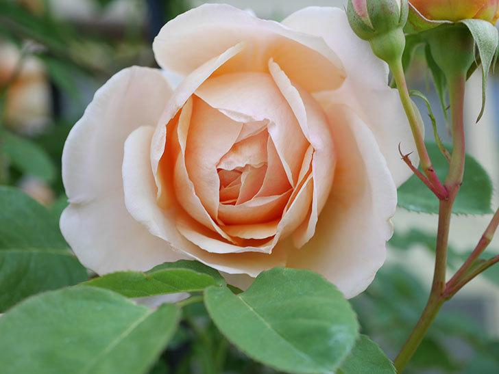 アンナ・フェンディ(Anna Fendi)の花が咲いた。半ツルバラ。2021年-019.jpg