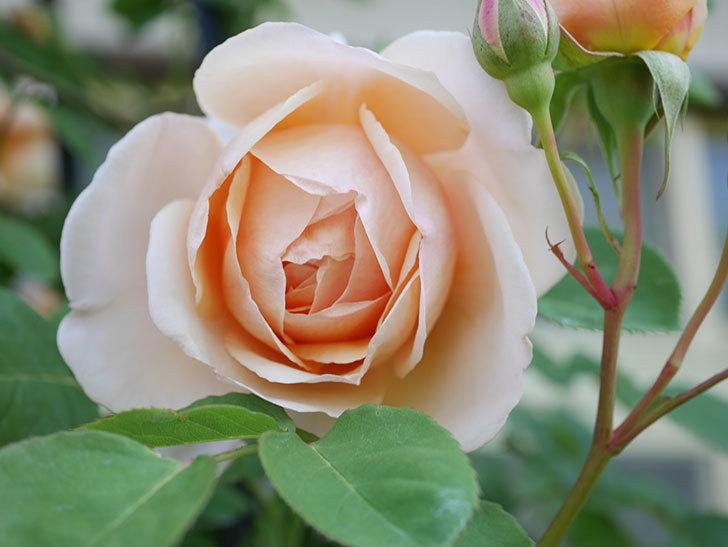 アンナ・フェンディ(Anna Fendi)の花が咲いた。半ツルバラ。2021年-020.jpg