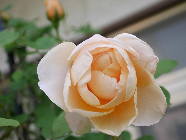 アンナ・フェンディ(Anna Fendi)の花が咲いた。半ツルバラ。2021年-021.jpg