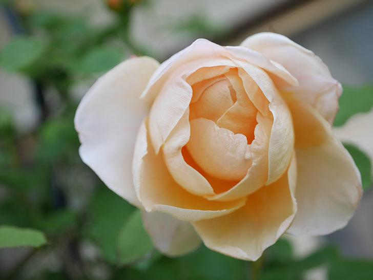 アンナ・フェンディ(Anna Fendi)の花が咲いた。半ツルバラ。2021年-022.jpg