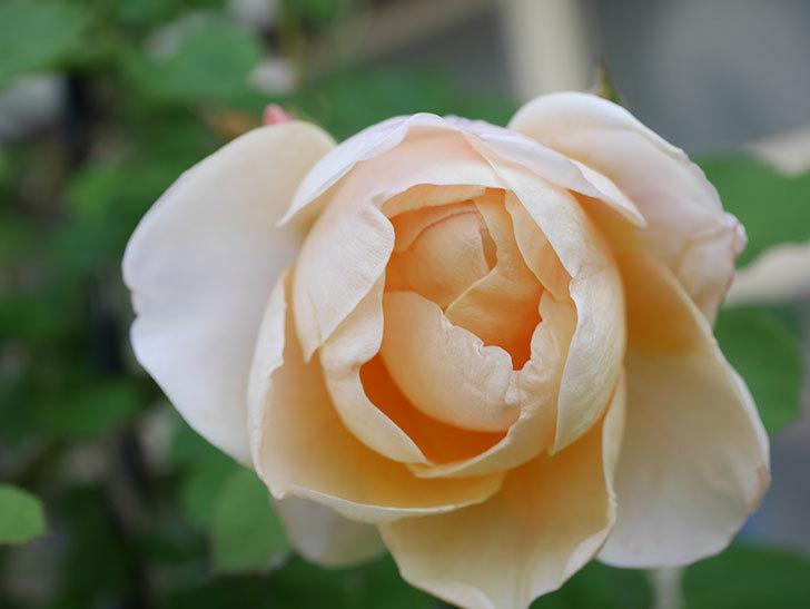 アンナ・フェンディ(Anna Fendi)の花が咲いた。半ツルバラ。2021年-023.jpg