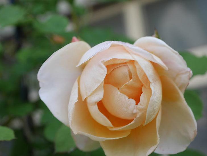 アンナ・フェンディ(Anna Fendi)の花が咲いた。半ツルバラ。2021年-024.jpg
