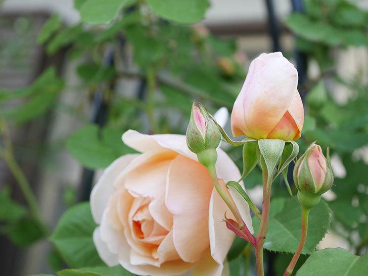 アンナ・フェンディ(Anna Fendi)の花が咲いた。半ツルバラ。2021年-025.jpg