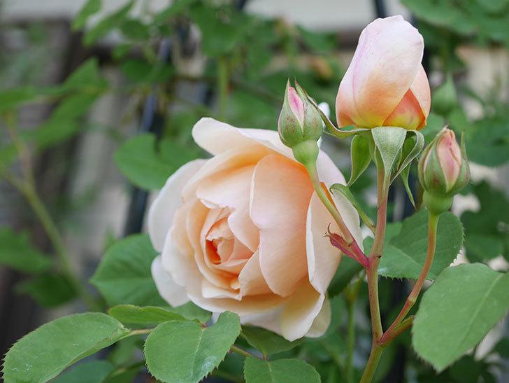アンナ・フェンディ(Anna Fendi)の花が咲いた。半ツルバラ。2021年-026.jpg
