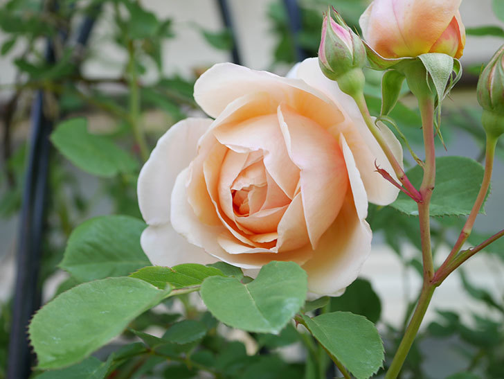 アンナ・フェンディ(Anna Fendi)の花が咲いた。半ツルバラ。2021年-027.jpg