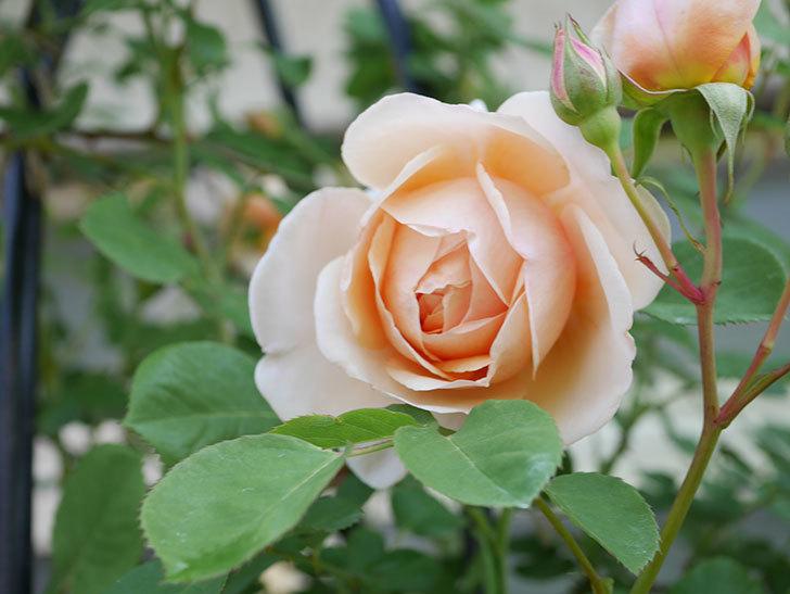 アンナ・フェンディ(Anna Fendi)の花が咲いた。半ツルバラ。2021年-028.jpg