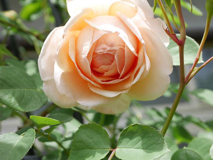 アンナ・フェンディ(Anna Fendi)の花が咲いた。半ツルバラ。2021年-030.jpg