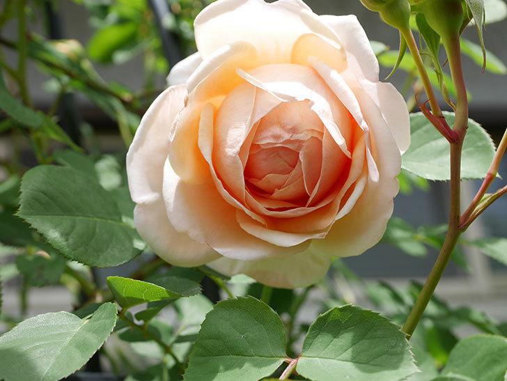 アンナ・フェンディ(Anna Fendi)の花が咲いた。半ツルバラ。2021年-031.jpg