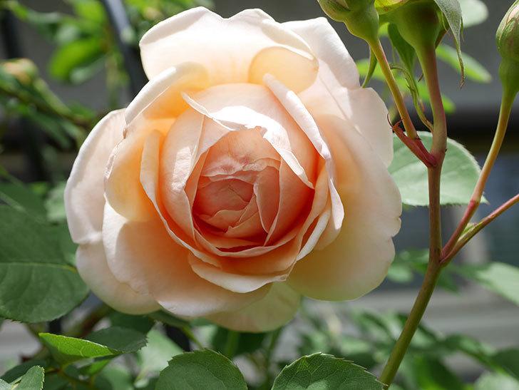 アンナ・フェンディ(Anna Fendi)の花が咲いた。半ツルバラ。2021年-032.jpg