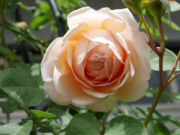 アンナ・フェンディ(Anna Fendi)の花が咲いた。半ツルバラ。2021年-033.jpg