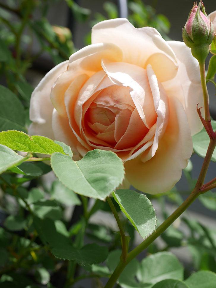 アンナ・フェンディ(Anna Fendi)の花が咲いた。半ツルバラ。2021年-034.jpg
