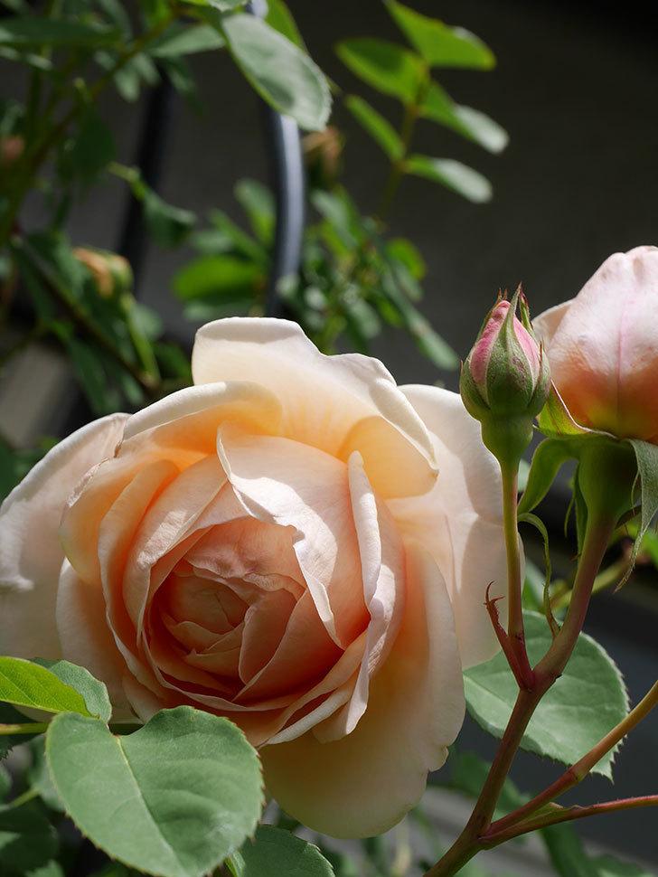 アンナ・フェンディ(Anna Fendi)の花が咲いた。半ツルバラ。2021年-035.jpg