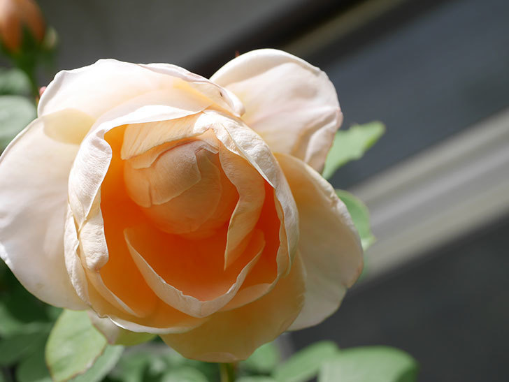 アンナ・フェンディ(Anna Fendi)の花が咲いた。半ツルバラ。2021年-036.jpg