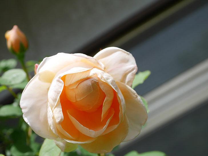 アンナ・フェンディ(Anna Fendi)の花が咲いた。半ツルバラ。2021年-037.jpg