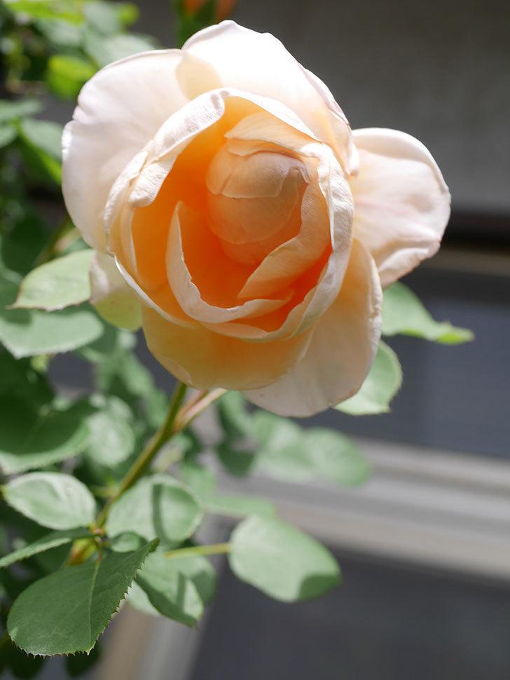 アンナ・フェンディ(Anna Fendi)の花が咲いた。半ツルバラ。2021年-038.jpg