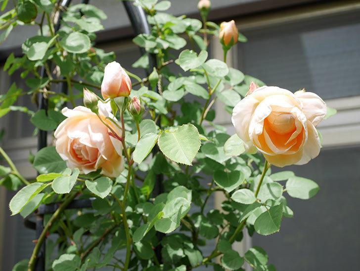 アンナ・フェンディ(Anna Fendi)の花が咲いた。半ツルバラ。2021年-039.jpg