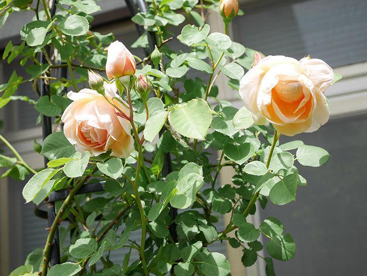 アンナ・フェンディ(Anna Fendi)の花が咲いた。半ツルバラ。2021年-040.jpg