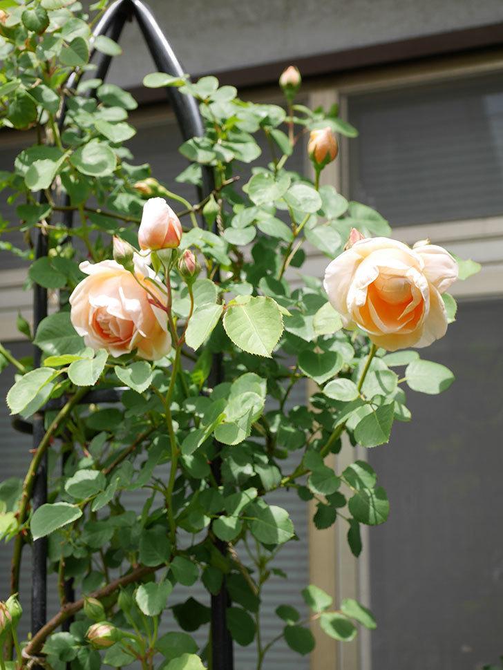 アンナ・フェンディ(Anna Fendi)の花が咲いた。半ツルバラ。2021年-041.jpg