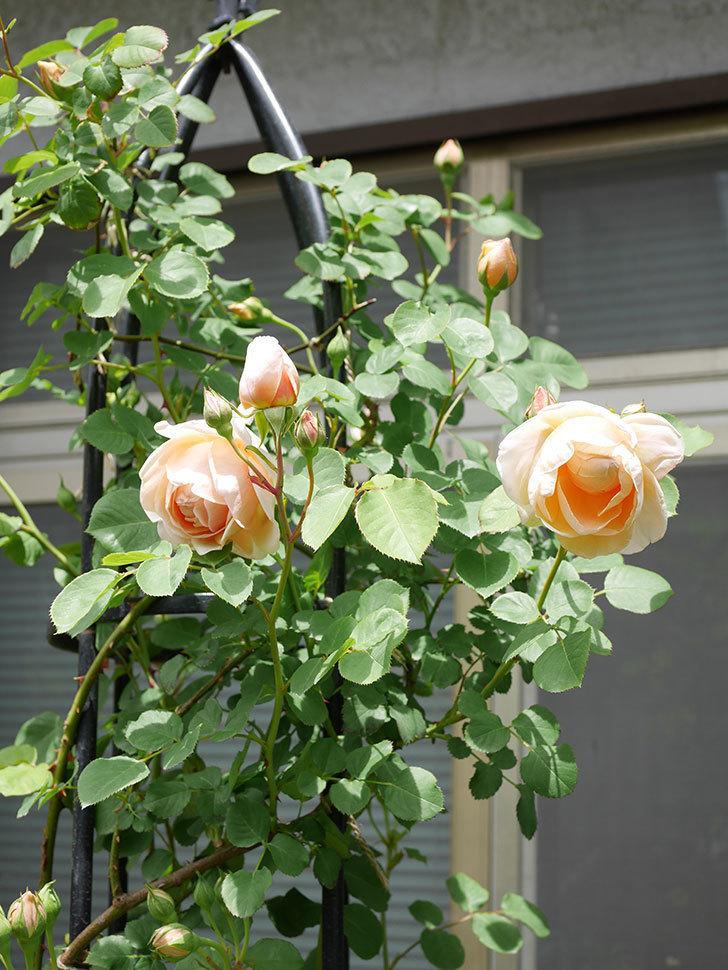 アンナ・フェンディ(Anna Fendi)の花が咲いた。半ツルバラ。2021年-042.jpg