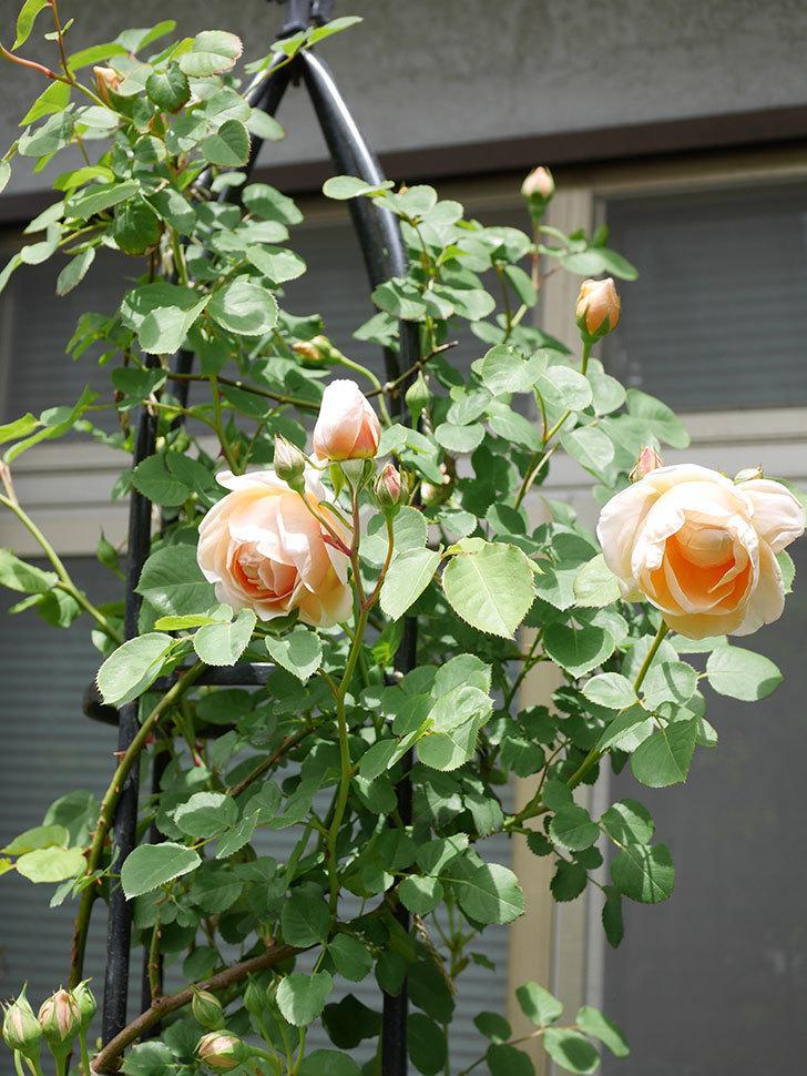 アンナ・フェンディ(Anna Fendi)の花が咲いた。半ツルバラ。2021年-043.jpg