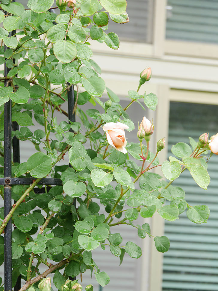アンナ・フェンディ(Anna Fendi)の花が少し咲いた。半ツルバラ。2021年-001.jpg