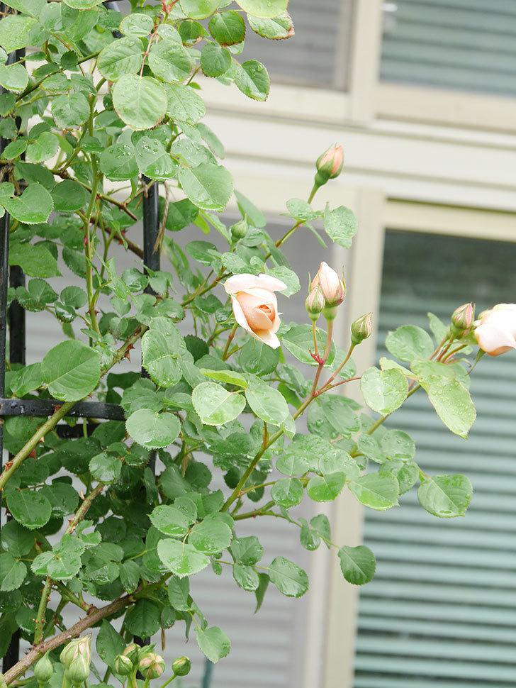 アンナ・フェンディ(Anna Fendi)の花が少し咲いた。半ツルバラ。2021年-002.jpg