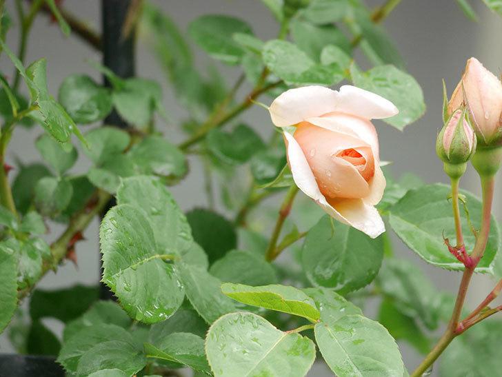 アンナ・フェンディ(Anna Fendi)の花が少し咲いた。半ツルバラ。2021年-003.jpg