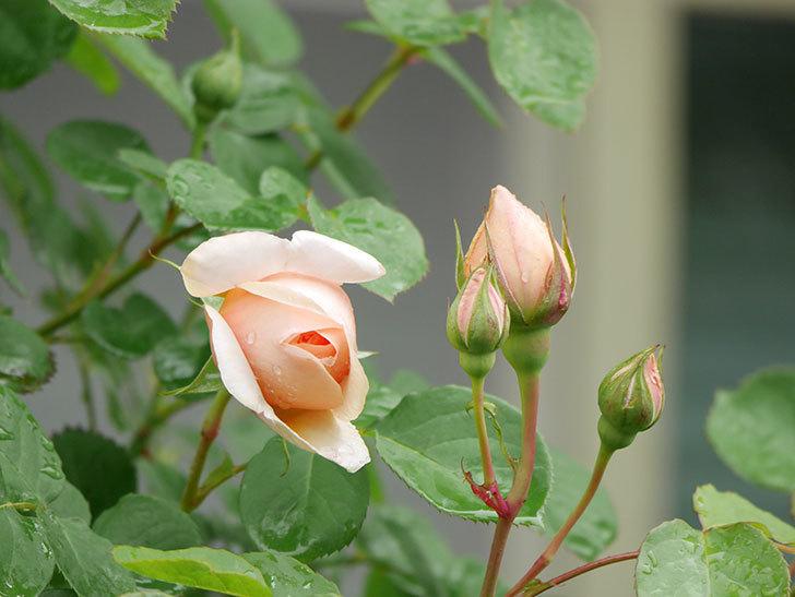 アンナ・フェンディ(Anna Fendi)の花が少し咲いた。半ツルバラ。2021年-004.jpg