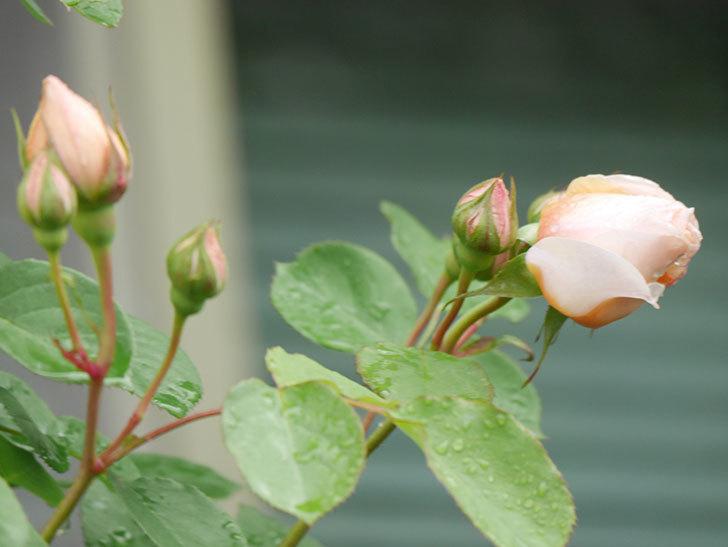 アンナ・フェンディ(Anna Fendi)の花が少し咲いた。半ツルバラ。2021年-006.jpg