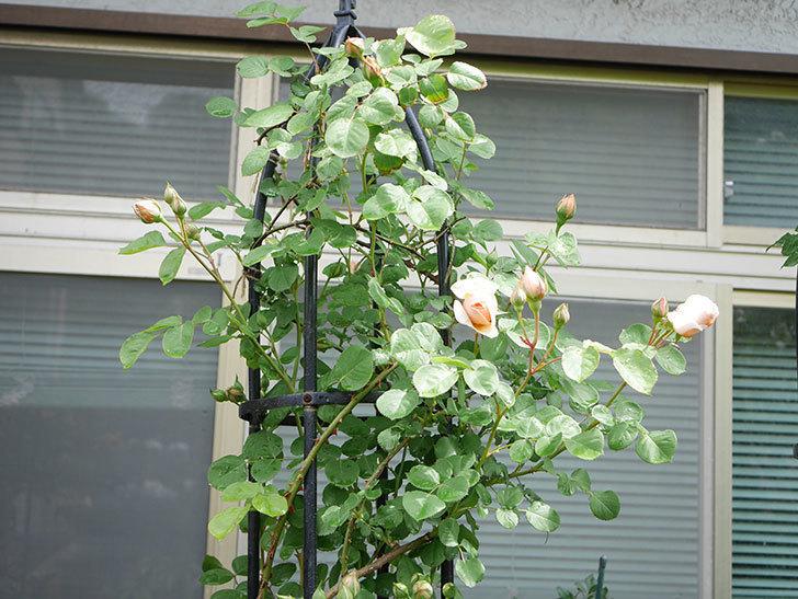 アンナ・フェンディ(Anna Fendi)の花が少し咲いた。半ツルバラ。2021年-007.jpg