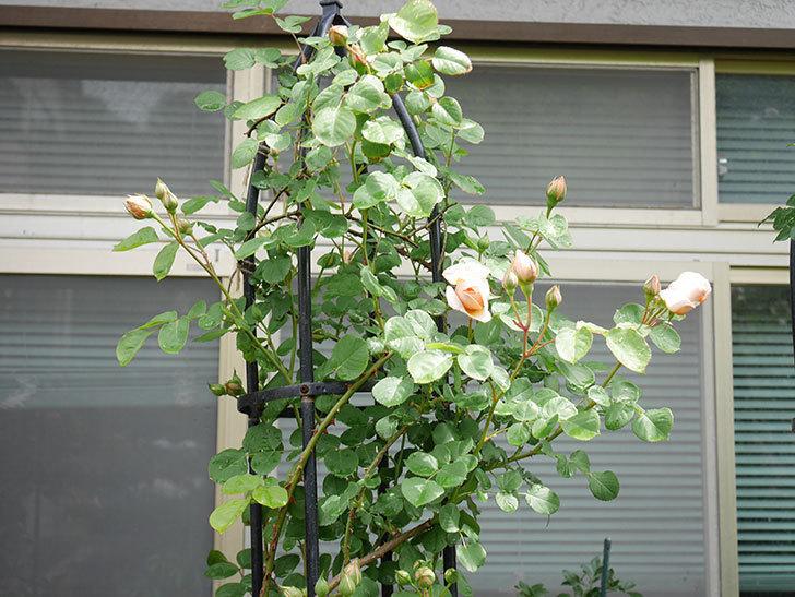 アンナ・フェンディ(Anna Fendi)の花が少し咲いた。半ツルバラ。2021年-008.jpg