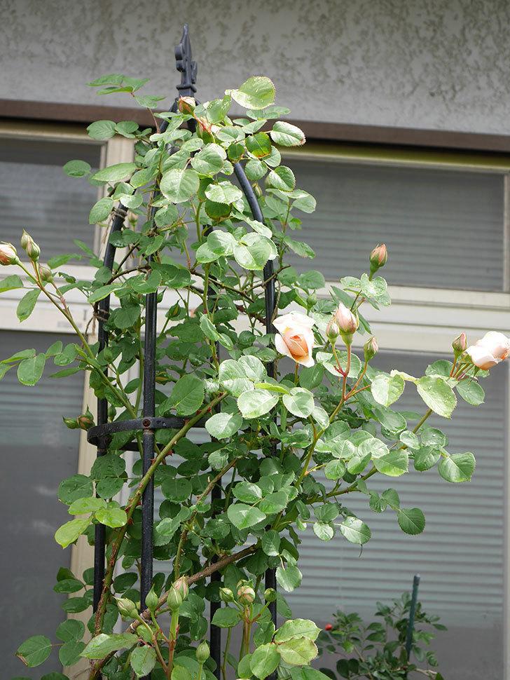 アンナ・フェンディ(Anna Fendi)の花が少し咲いた。半ツルバラ。2021年-009.jpg