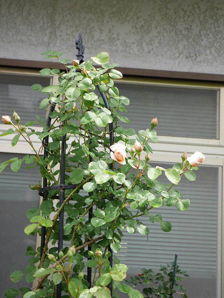 アンナ・フェンディ(Anna Fendi)の花が少し咲いた。半ツルバラ。2021年-010.jpg