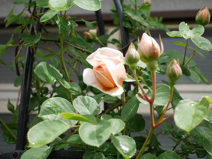アンナ・フェンディ(Anna Fendi)の花が少し咲いた。半ツルバラ。2021年-011.jpg
