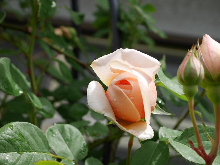 アンナ・フェンディ(Anna Fendi)の花が少し咲いた。半ツルバラ。2021年-012.jpg