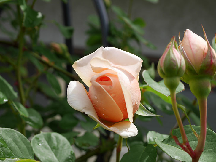 アンナ・フェンディ(Anna Fendi)の花が少し咲いた。半ツルバラ。2021年-013.jpg