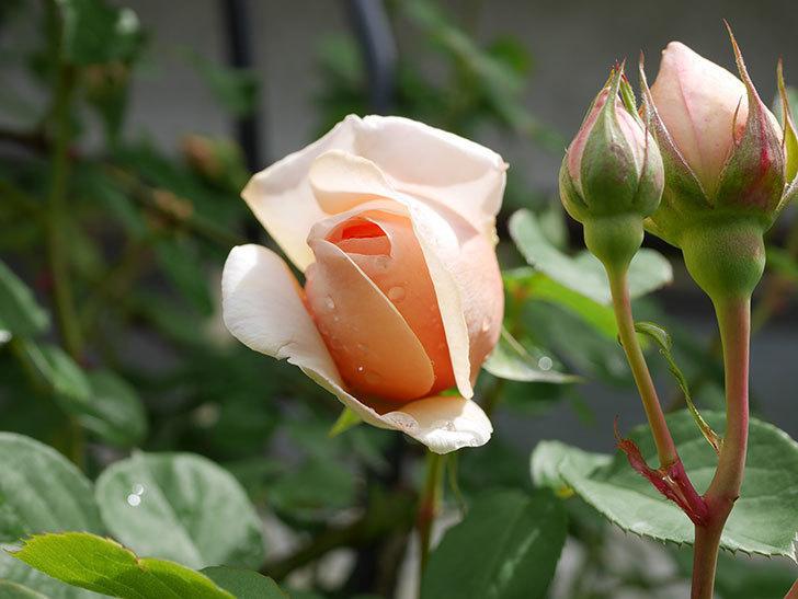 アンナ・フェンディ(Anna Fendi)の花が少し咲いた。半ツルバラ。2021年-014.jpg
