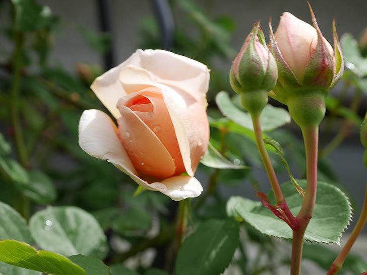 アンナ・フェンディ(Anna Fendi)の花が少し咲いた。半ツルバラ。2021年-015.jpg