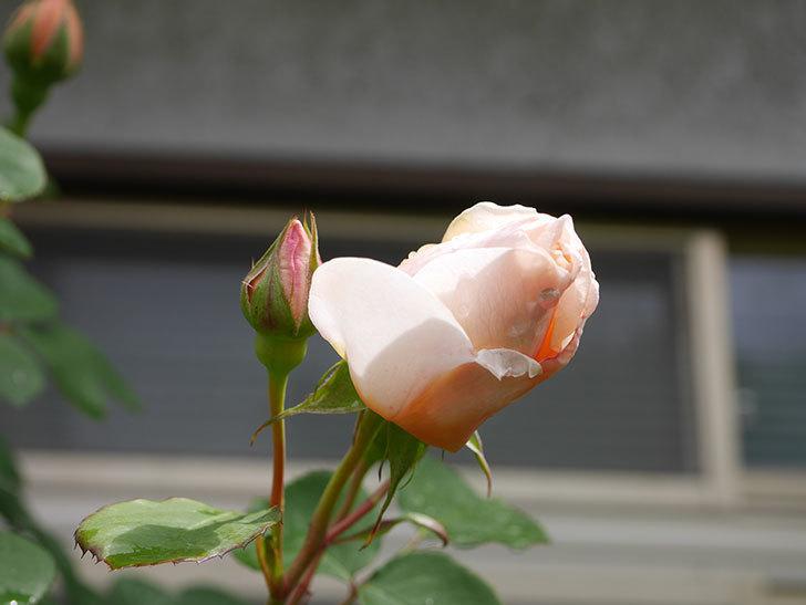 アンナ・フェンディ(Anna Fendi)の花が少し咲いた。半ツルバラ。2021年-016.jpg